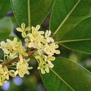 osmanthus pianta