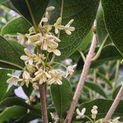 Fiore di Osmanthus fragrans