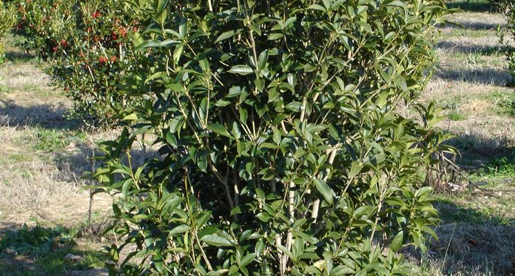 Osmanthus fragrans piante da giardino osmanthus - Osmanthus siepe ...