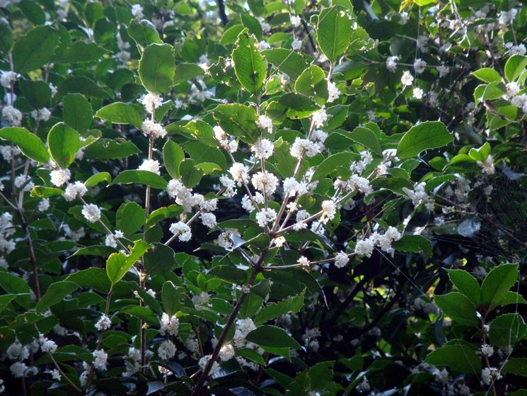 Osmanthus fragrans in fiore