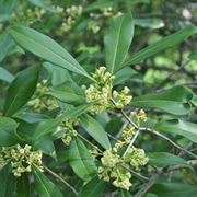 Foglie e fiori di Osmanthus americanus