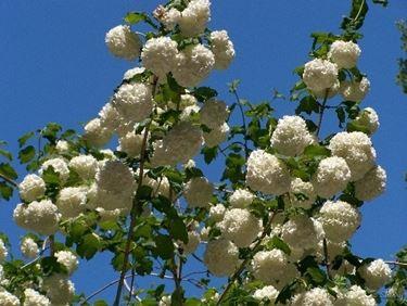 Palla di neve fiorita