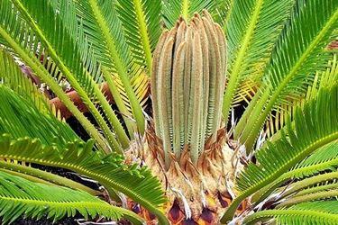 Una palma cycas nel periodo dell'infiorescenza