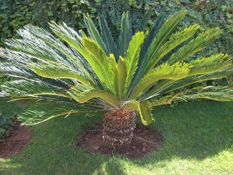 Un esemplare di palma cycas messa a dimora direttamente nel terreno