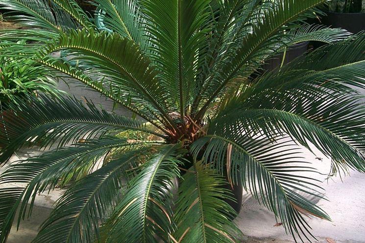 Una palma cycas in vaso