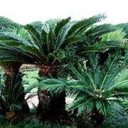 cycas pianta prezzi