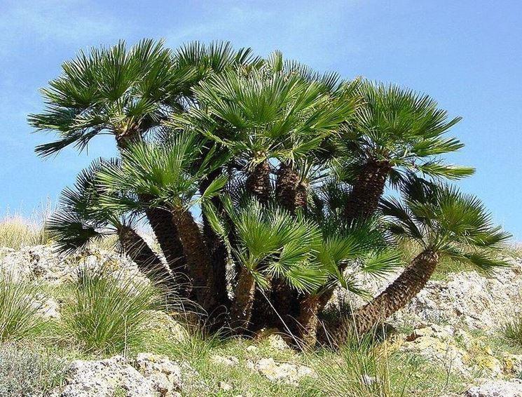 Una palma nana in natura