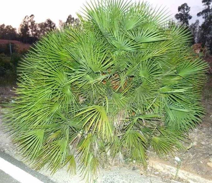 Una palma nana in giardino