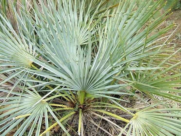 Un tipo di palma nana