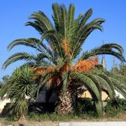 Palma pianta varietà