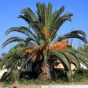 Palme da giardino alberi latifolie tipi di palme da for Palma pianta
