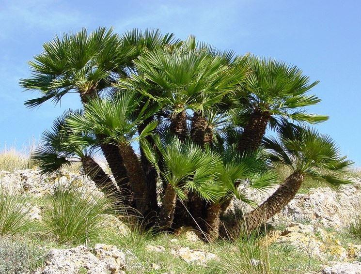 Un esemplare di palma nana