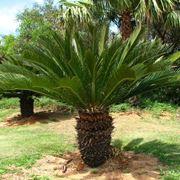 palme da giardino
