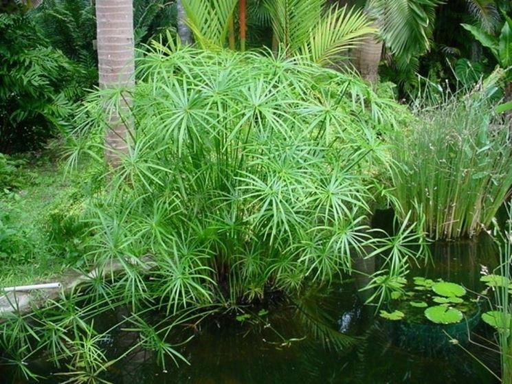 Variet� della pianta di Papiro
