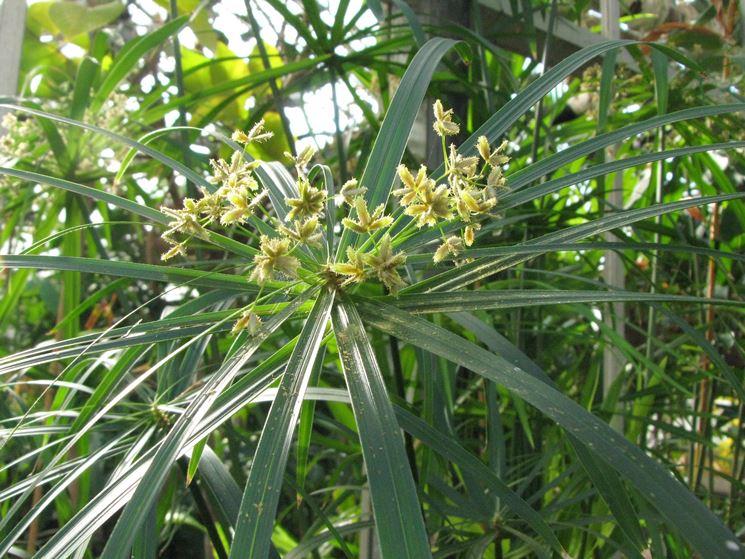Infiorescenze della pianta di Papiro