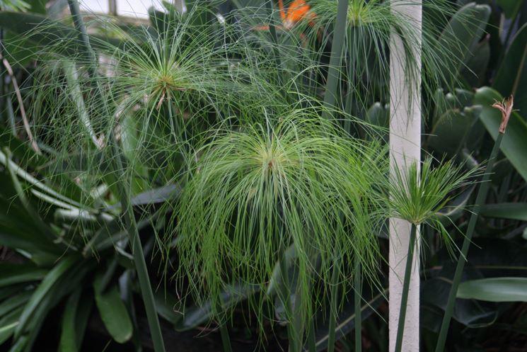 Variet� di Cyperus papyrus