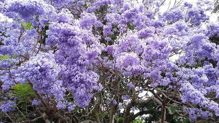 Fiori albero paulonia