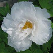 peonia bianca particolare fiore