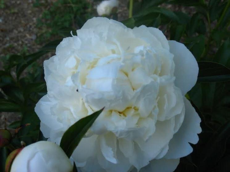 peonie bianche coltivate in giardino