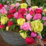 Peonia erbacea fiorita