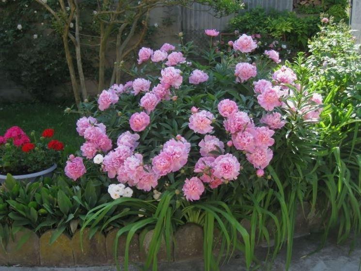 Peonie coltivate in vaso