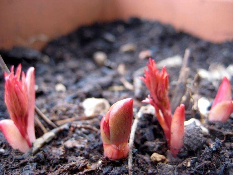Peonie erbacee in coltivazione