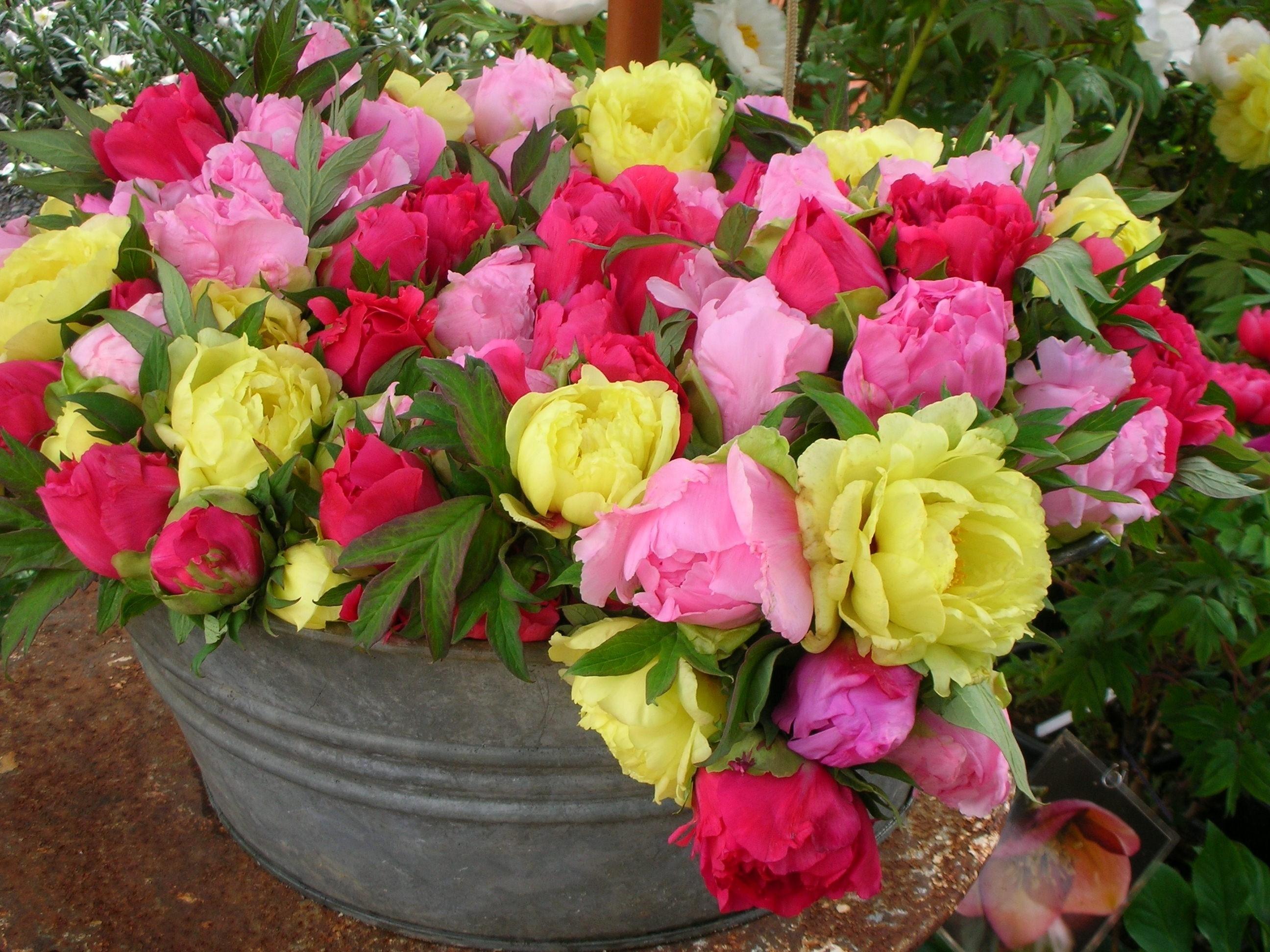 Peonia erbacea piante da giardino caratteristiche della peonia erbacea - Rose coltivazione in giardino ...