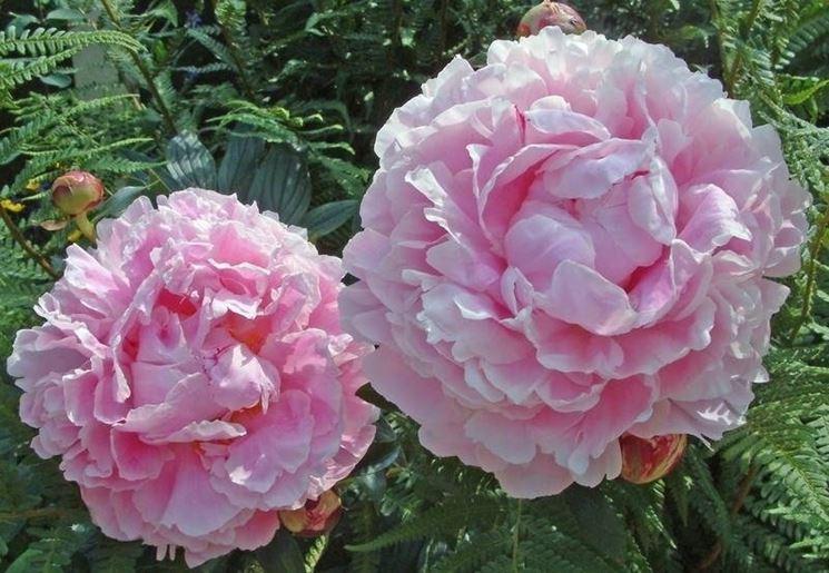 Bellissimi fiori rosa di paeonia