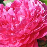 Splendida Peonia rosa