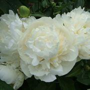 Bellissima peonia bianca