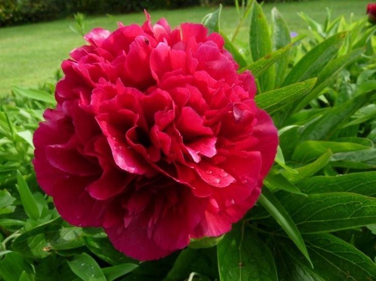 Fiore doppio di Peonia