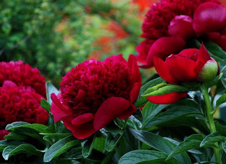 Peonie erbacee piante da giardino peonie erbacee giardino for Peonie periodo