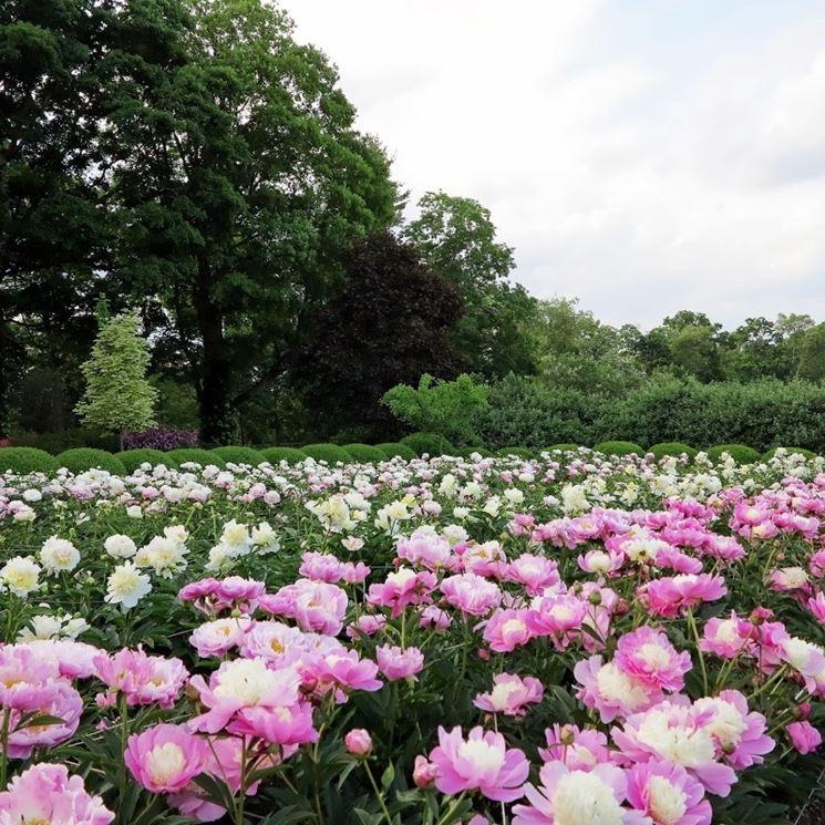 peonie periodo piante da giardino peonia la regina ForPeonie Periodo