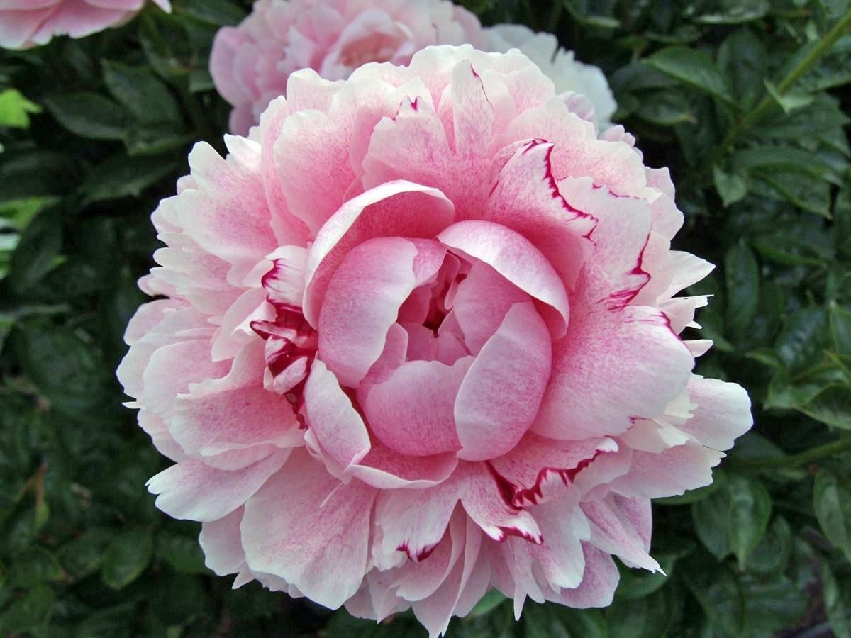 peonie periodo piante da giardino peonia la regina