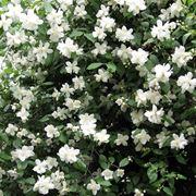 Fiori e foglie di Philadelphus