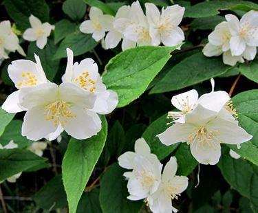 Fiori delle piante di Philadelphus