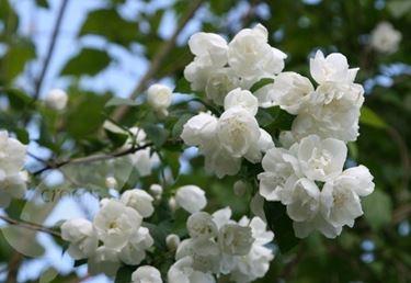 Fiori della piante di Philadelphus