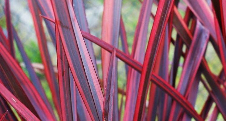 Varietà a foglie purpuree