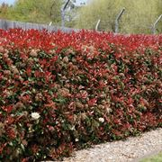 photinia red