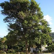 Pianta di Laurus nobilis