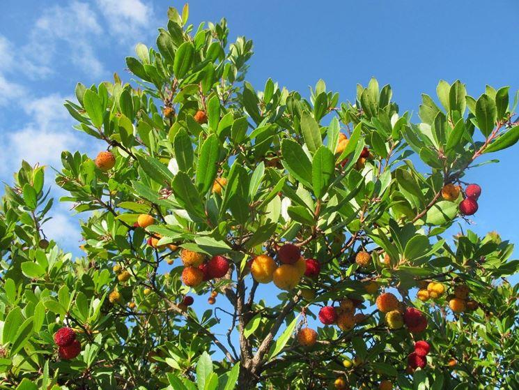 Pianta corbezzolo piante da giardino corbezzolo pianta for Piante da cespuglio sempreverdi