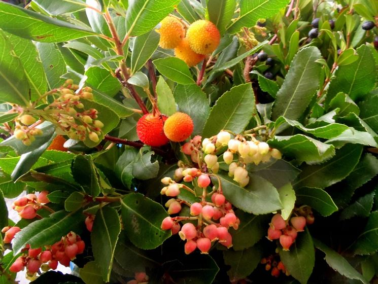 I fiori e i frutti del corbezzolo
