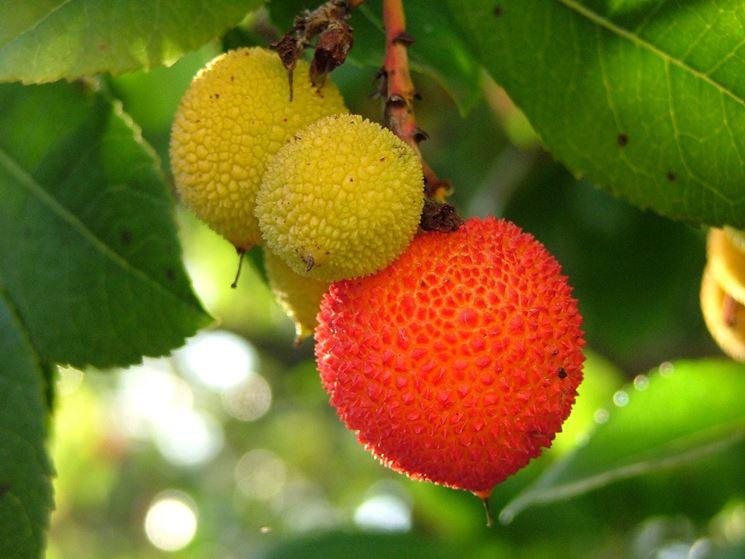 I frutti del corbezzolo