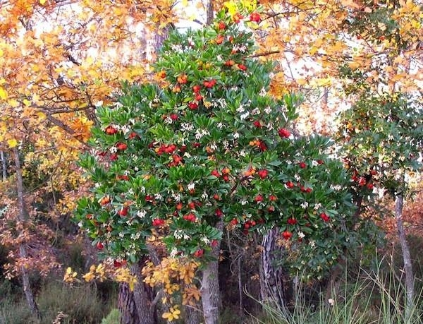 Pianta corbezzolo piante da giardino corbezzolo pianta - Piante da giardino profumate ...