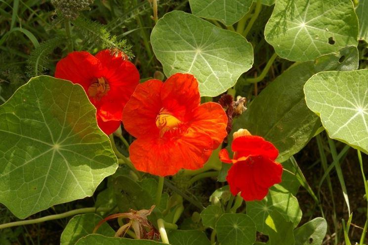Fiori e foglie di Nasturzio