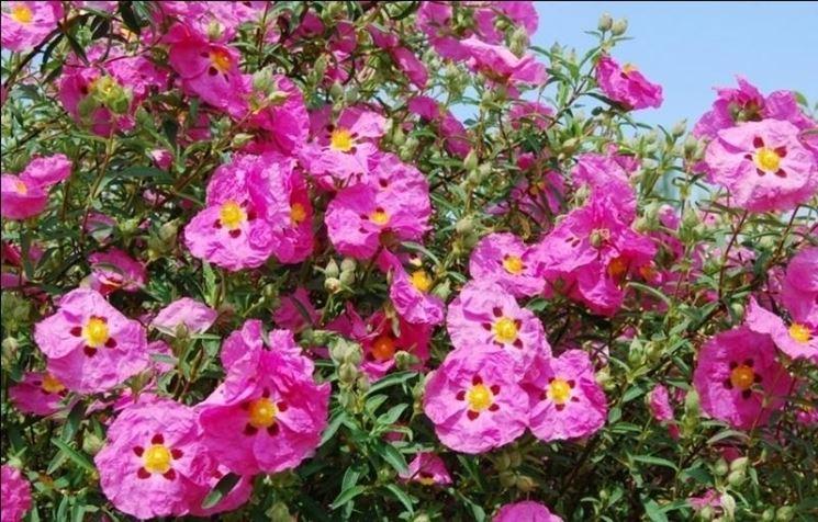 Fiori e piante di Cisto