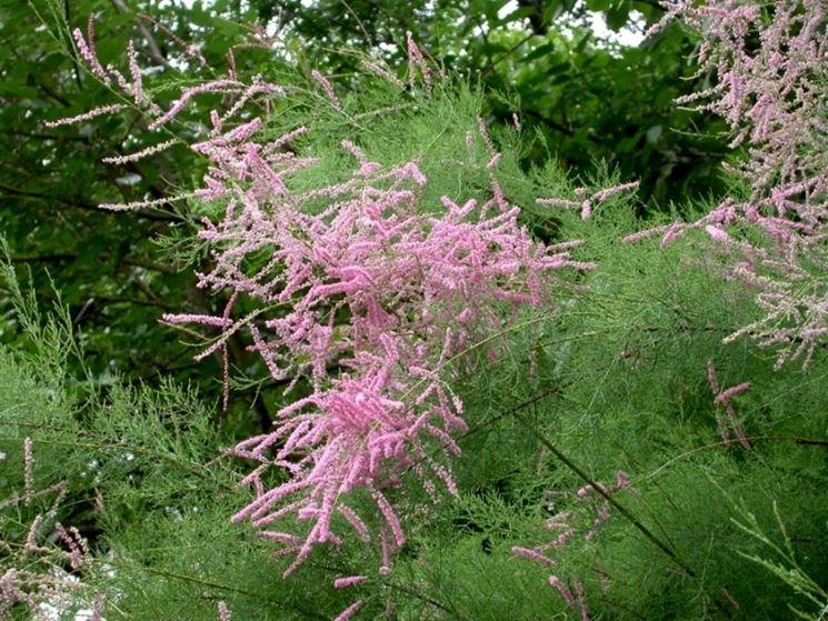 Arbusto in fiore di Tamerice
