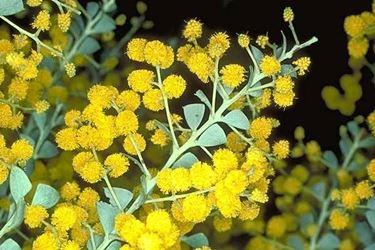 mimosa particolare.