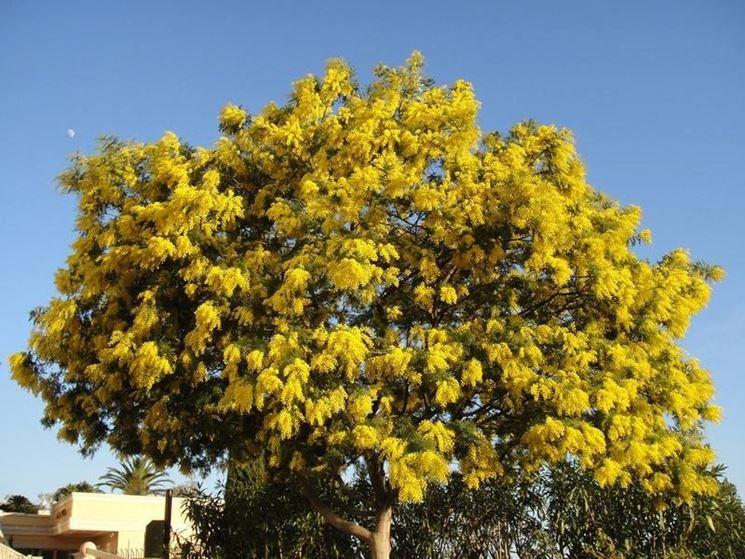 Pianta di mimosa piante da giardino caratteristiche for Foto alberi da giardino