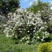 Arbusti di gelsomino